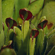 The Rare Carnivorous Sun Pitcher Plant Poster