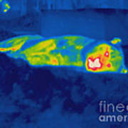 Thermogram Of A Tiger Poster