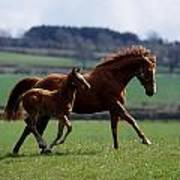 Thoroughbred Mare & Foal, Ireland Poster