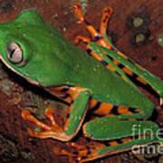 Tiger-striped Monkey Frog Poster