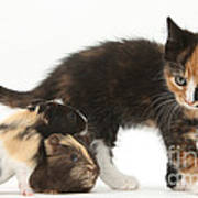 Tortoiseshell Kitten With Baby Poster
