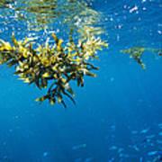 Tropical Seaweed Poster by Alexis Rosenfeld