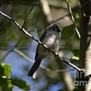 Tufted Titmouse 2 Poster