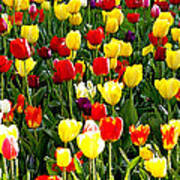 Tulip Garden University Of Pittsburgh  Poster by Thomas R Fletcher