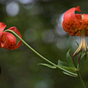 Turk's Cap Lily Poster