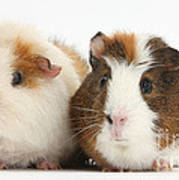 Two Guinea Pigs Poster