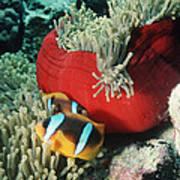 Twoband Anemonefish Poster