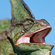 Veiled Chameleon Chamaeleo Calyptratus Poster