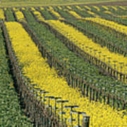 Vineyards In Californias Edna Valley Poster