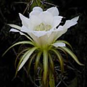 White Echinopsis Flower  Poster