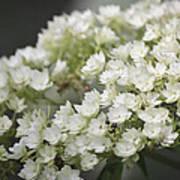 White Hydrangea Bloom Poster
