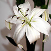 White Lily In Macro Poster