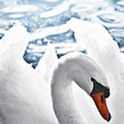 White Swan On Water Poster