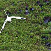 White-tailed Tropicbird Poster