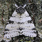 White Underwing Moth Poster