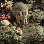 Wood Mouse Feeding Poster
