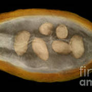 X-ray Of A Cocoa Pod Poster