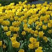 Yellow Tulips 2 Poster