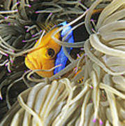 Yellowtail Anemonefish In Its Anemone Poster by Alexis Rosenfeld