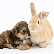 Yorkipoo Pup With Sandy Rabbit Poster