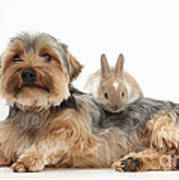 Yorkshire Terrier Dog And Baby Rabbit Poster