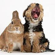 Yorkshire Terrier Pup With Rabbit Poster