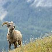 Young Bighorn Sheep, Windy Point Poster