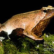 Darwins Frog Poster