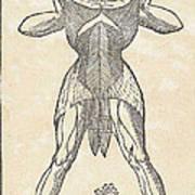 Historical Anatomical Illustration Poster