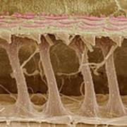 Inner Ear Hair Cells, Sem Poster by Steve Gschmeissner
