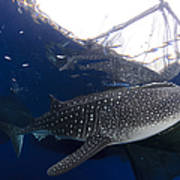Whale Shark Feeding Under Fishing Poster