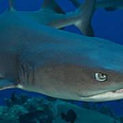 Whitetip Reef Shark, Kimbe Bay, Papua Poster