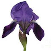 Blue Iris Blooming Poster