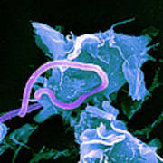Bacteria Infecting A Macrophage, Sem Poster by