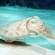 Broadclub Cuttlefish Poster