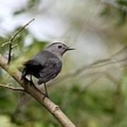 Gray Catbird Poster