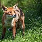 A British Red Fox Poster