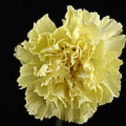 A Carnation Dianthus Caryophyllus Poster