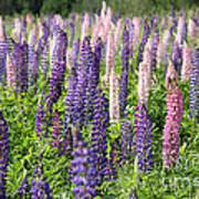 A Field Of Lupins Poster