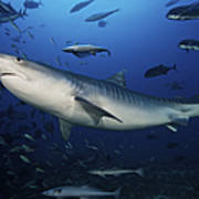 A Large 10 Foot Tiger Shark Swims Poster