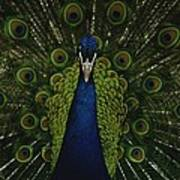 A Male Peacock Displays His Beautiful Poster