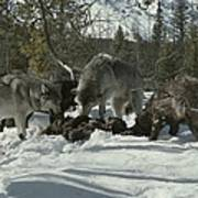 A Pack Of Gray Wolves, Canis Lupus Poster