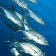 A School Of Bigeye Trevally, Papua New Poster