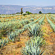 Agave Cactus Field In Mexico Poster