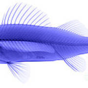 An X-ray Of Yellow Perch Poster