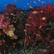 Anthias Fish Swim Near A Reef Wall Poster