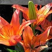 Asiatic Lily Named Gran Paradiso Poster