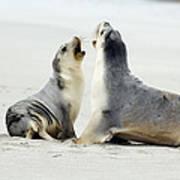 Australian Sea Lions Poster