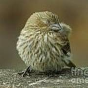 Baby House Finch Poster