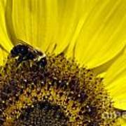 Bee And Sunflower Poster
